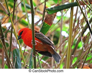 Beautiful Small Delicate Red Cardinal Fody or Common Fody Bird Male Sitting on Branch