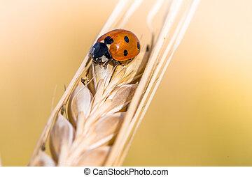 Beautiful small ladybug on a golden ripe barley head