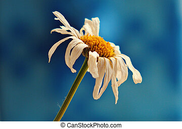 small original delicate free field flowers camomile on a light background