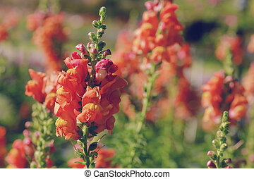 beautiful snapdragon flower in garden at winter