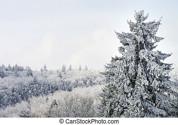 Beautiful snow-covered fir trees in winter forest, french mountains