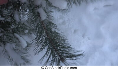 beautiful snow-covered trees and pine needle covered with...