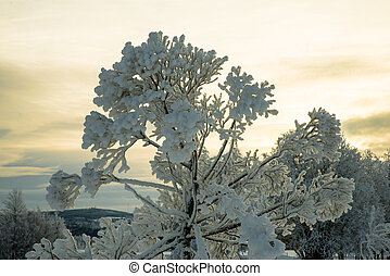 beautiful snow covered trees with yellow sky in the background
