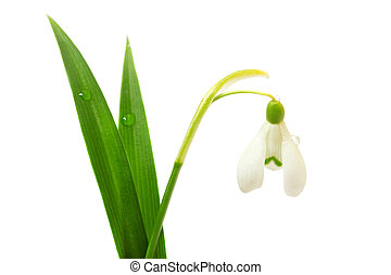 Beautiful snowdrop flower isolated on white background