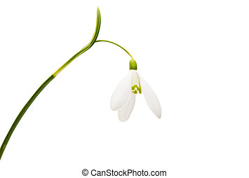 beautiful snowdrop flower white isolated