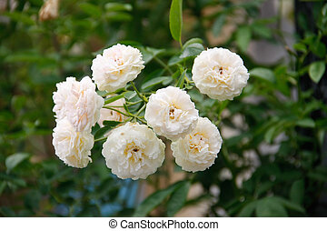 panicle white rose - beautiful soft of panicle white rose on...