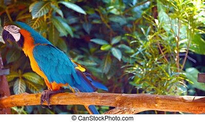 Beautiful, Solitary, Blue and Gold Macaw, Shuffling on his Perch in Captivity