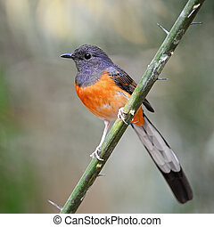Beautiful song bird, juvenile male White-rumped Shama (Copsychus malabaricus), standing on a branch, breast profile
