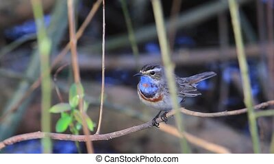 beautiful songbird sings sitting in the bushes , wild nature