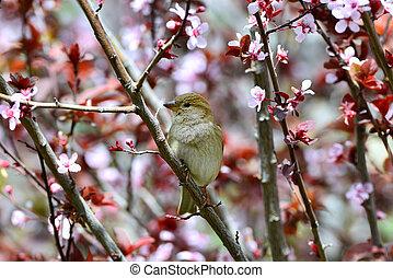 Beautiful sparrow on a Japanese plum tree