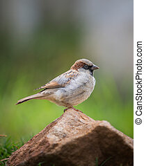 Beautiful Sparrow sitting on rock green background close up shot
