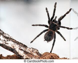 Lasiodora parahybana - Beautiful spider tarantula Lasiodora...