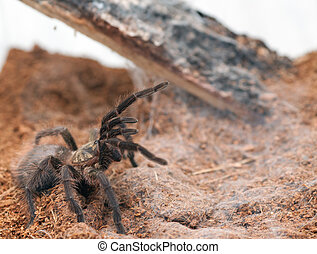Phormictopus auratus - Beautiful spider tarantula...