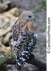 Beautiful Spotted Feathers on a Hawk Sitting on a Branch