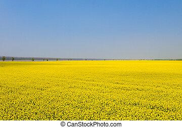 endless fields of rapeseed flower