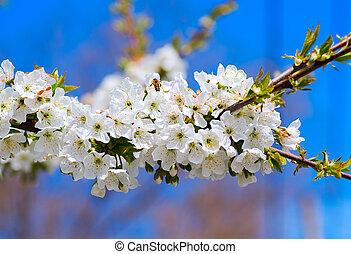 spring apple tree against blue sky