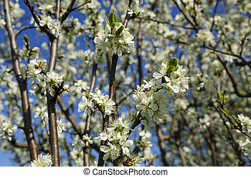 beautiful spring apple tree flowers background