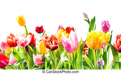 Beautiful spring background of colourful tulips