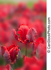 Red tulips on blurred background