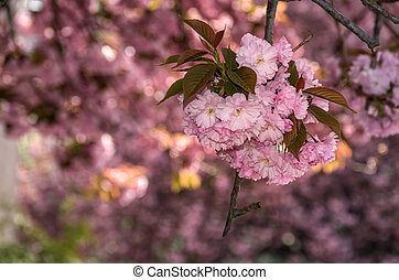 beautiful spring background with cherry blossom. pink tender...