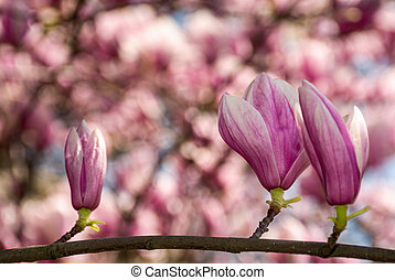 beautiful spring background with magnolia flowers. pink...