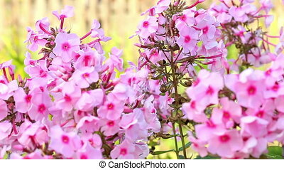Beautiful spring background with pink flowers in the garden....