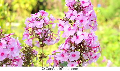 Beautiful spring background with pink flowers in the garden.