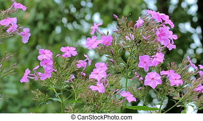 Beautiful spring background with purple flowers in the garden.