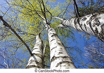beautiful spring birch tree trunks on sky background