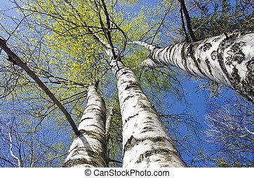 beautiful spring birch tree trunks on sky background