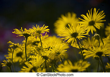 spring blooming yellow flowers in the garden in the rays of the evening warm sun,