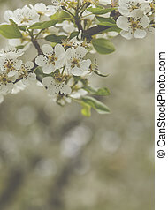 Beautiful spring blossoming cherry tree
