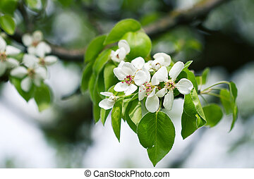 Beautiful spring blossoming pear tree