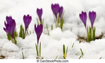 Beautiful spring crocuses