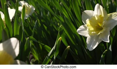 Beautiful spring daffodil flowers swaying in the wind in the garden, slow motion video. High quality FullHD footage