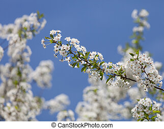 Beautiful spring flowers cherry on a background of blue sky