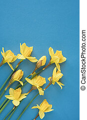 Beautiful spring flowers daffodils on a blue background.
