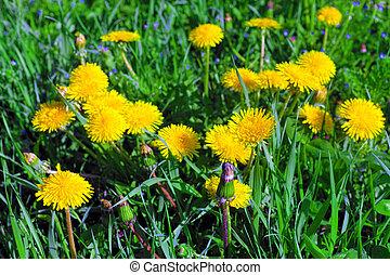 Beautiful spring flowers-dandelions in a wild field. Early ...
