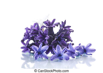 hyacinth - beautiful spring flowers hyacinth on white ...