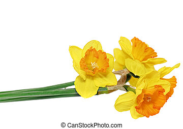 Beautiful spring   flowers : orange narcissus (Daffodil)