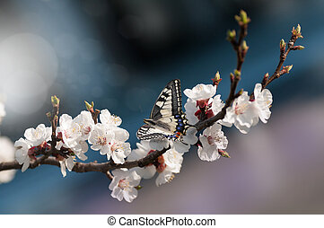 beautiful spring image. Cherry blossoms on a blue background. Butterfly on a flower. Free space for your text .