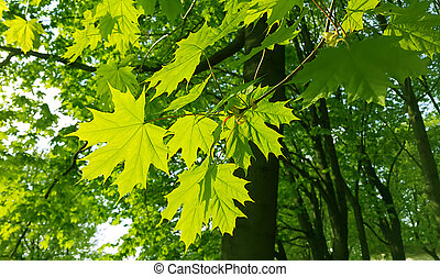 Beautiful spring leaves of maple tree