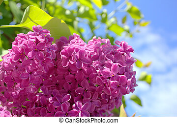 Beautiful spring lilac flowers in the sunshine