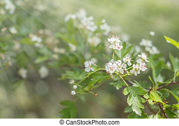 Beautiful spring scene with many little flowers. Hawthorn tree blossom. Toned photo. Shallow depth of the field.