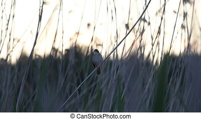 beautiful spring song of a bird perched on a reed , beauty of nature