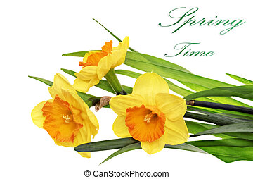 Beautiful spring three flowers : orange narcissus (Daffodil)