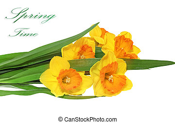 Beautiful spring  three flowers : orange narcissus (Daffodil)