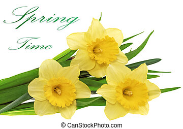 Beautiful spring  three flowers : yellow narcissus (Daffodil)