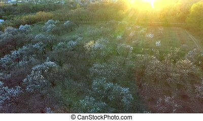 beautiful spring trees background. aerial view. fly over....
