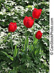 Beautiful spring tulip flowers in coloful garden